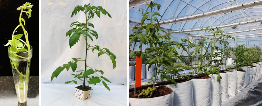 First doubled haploid tomato plants delivered to customers